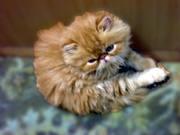 Шикарные персидские и экзотические короткошёрстные котята.