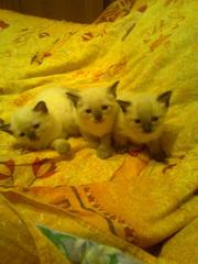 сиамские котята мальчики и девочка