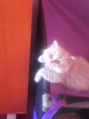Котята светлых окрасов.