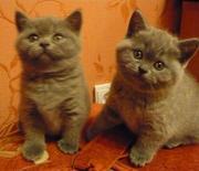 Продаются чистокровные британские котята