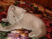 Британский короткошёрстный котёнок